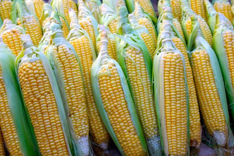 Maïs-OGM