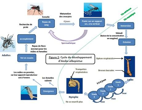 cycle de vie moustique